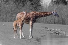 giraf2_lille